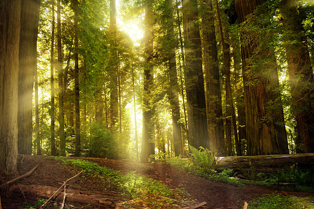 Spring Sunbeams in the Redwood Forest Spring sunbeams shining through California Redwoods. redwood tree stock pictures, royalty-free photos & images