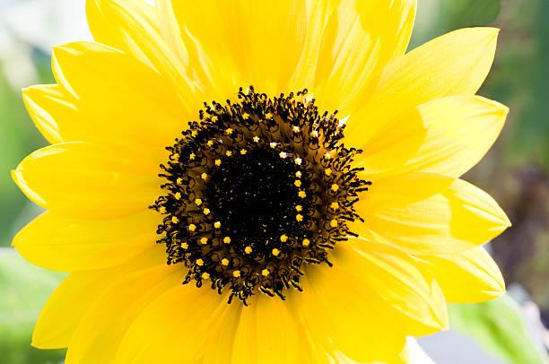 Spring Sunflower stock photo