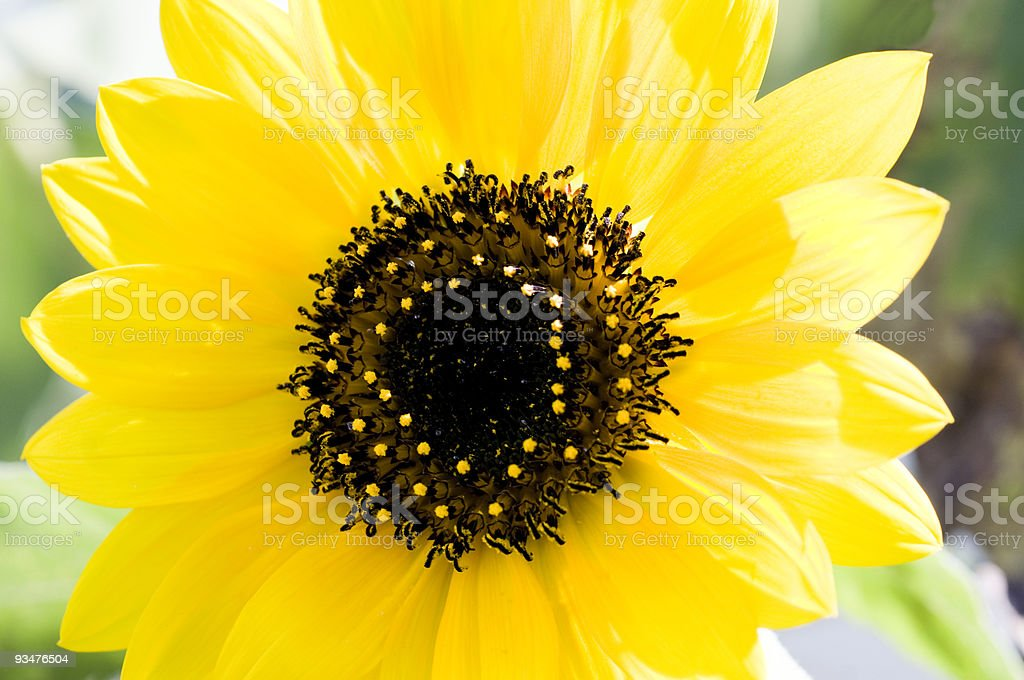 Spring Sunflower stock photo