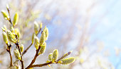 Spring sunny day. Blooming willow, salix flowers on azure sky background, panoramic view. Easter