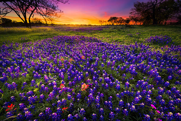 spring sunrise in the texas hill country - bluebonnet stock photos and pictures