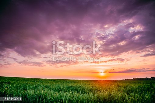 istock Spring Sunset Sky Above Countryside Rural Meadow Landscape. Wheat Field Under Sunny Spring Sky. Skyline. Agricultural Landscape With Growing Green Young Wheat Shoots, Wheat Germs 1312443911