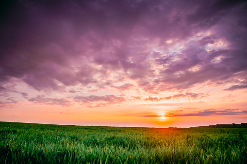 Spring Sunset Sky Above Countryside Rural Meadow Landscape. Wheat Field Under Sunny Spring Sky. Skyline. Agricultural Landscape With Growing Green Young Wheat Shoots, Wheat Germs. Copy Space.