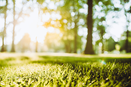 Spring sunsets in the park. Focus on grass in the foreground
