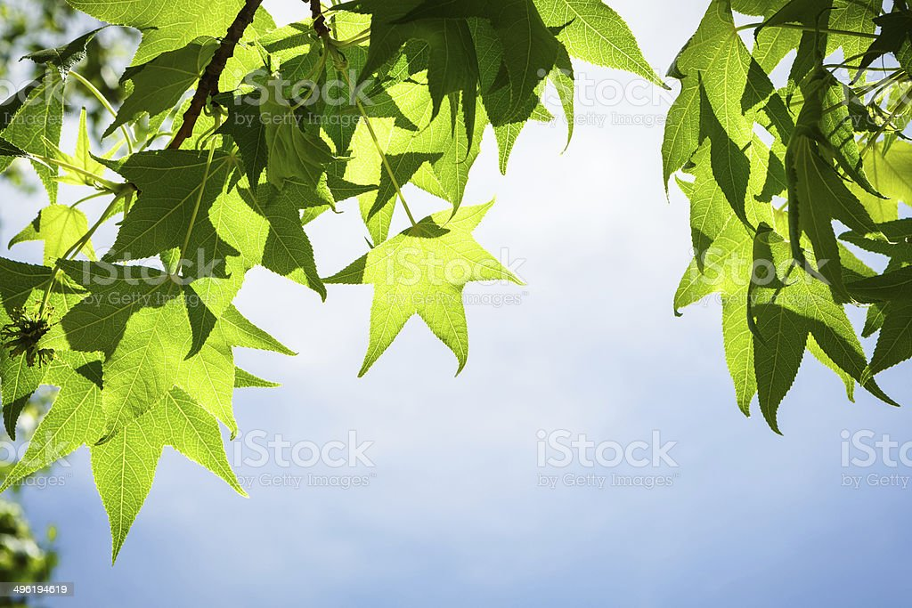 Spring Sweetgum Leaves on Branch against Blue Sky stock photo