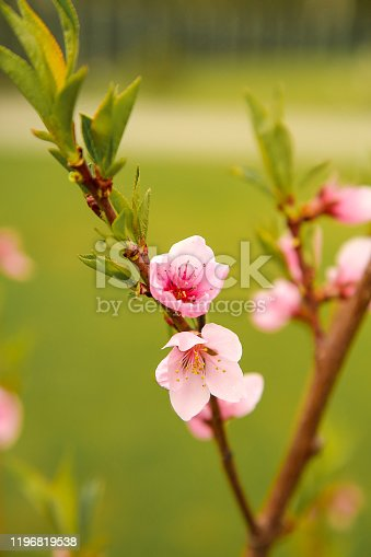istock Spring the month of April the peach blossom 1196819538