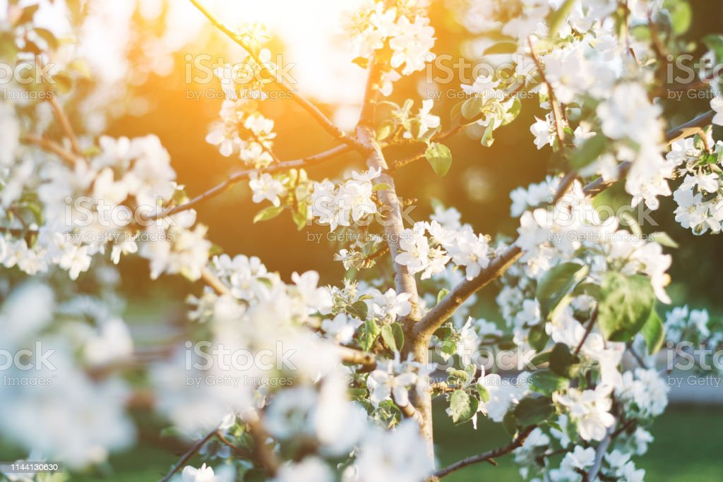 Spring Time Apple Tree Blossom Background With Sun Beautiful