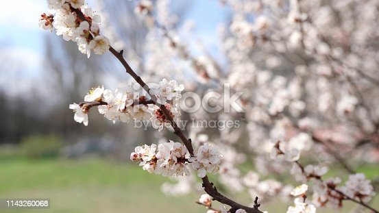 istock Spring time background. Cherry Blossom trees, Pink Sakura flowers 1143260068