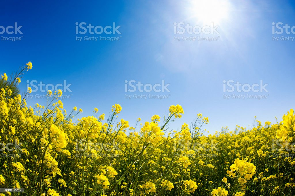 Spring Time Blossoms - Colza Blossom stock photo