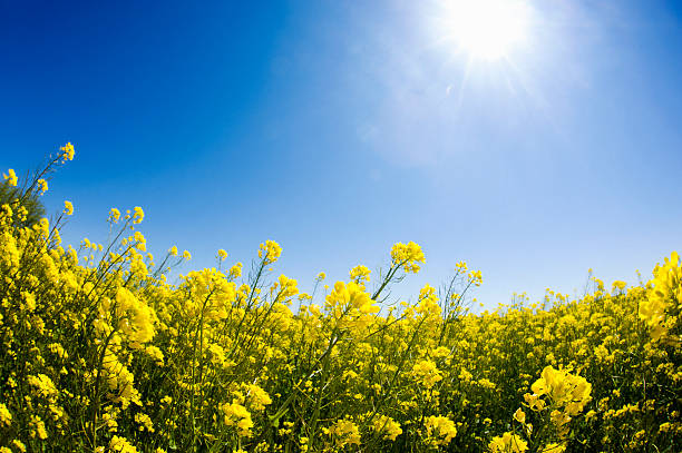 Spring Time Blossoms - Colza Blossom Spring Time Blossoms - Colza Blossoms. A field of Colza Blossoms in the spring time, looking up to the sun in a clear blue sky oilseed rape stock pictures, royalty-free photos & images