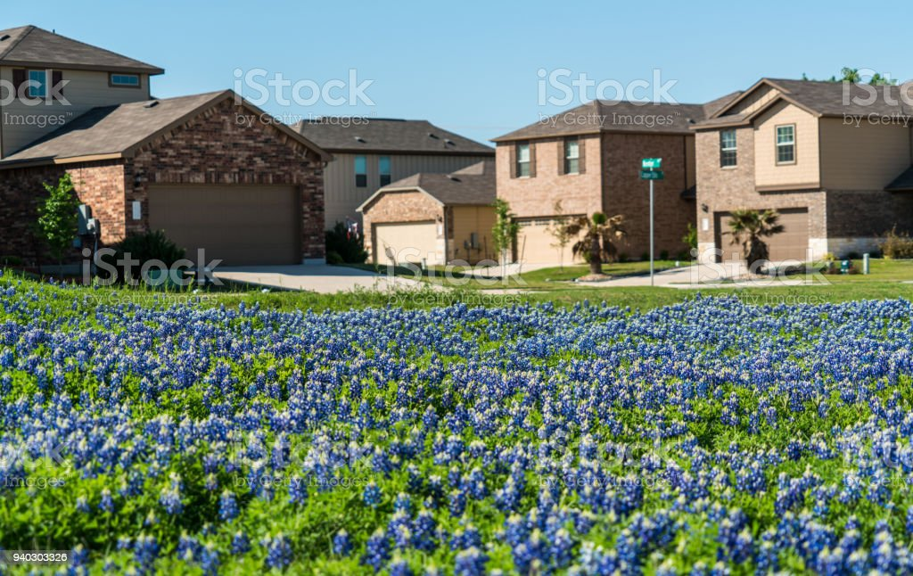 Spring time bluebonnets with suburb homes stock photo