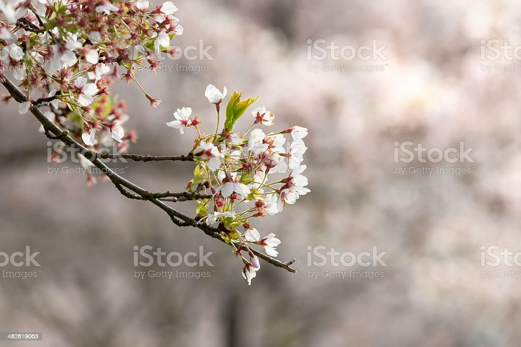 Spring time. close up of pink cherry blossoms royalty-free stock photo