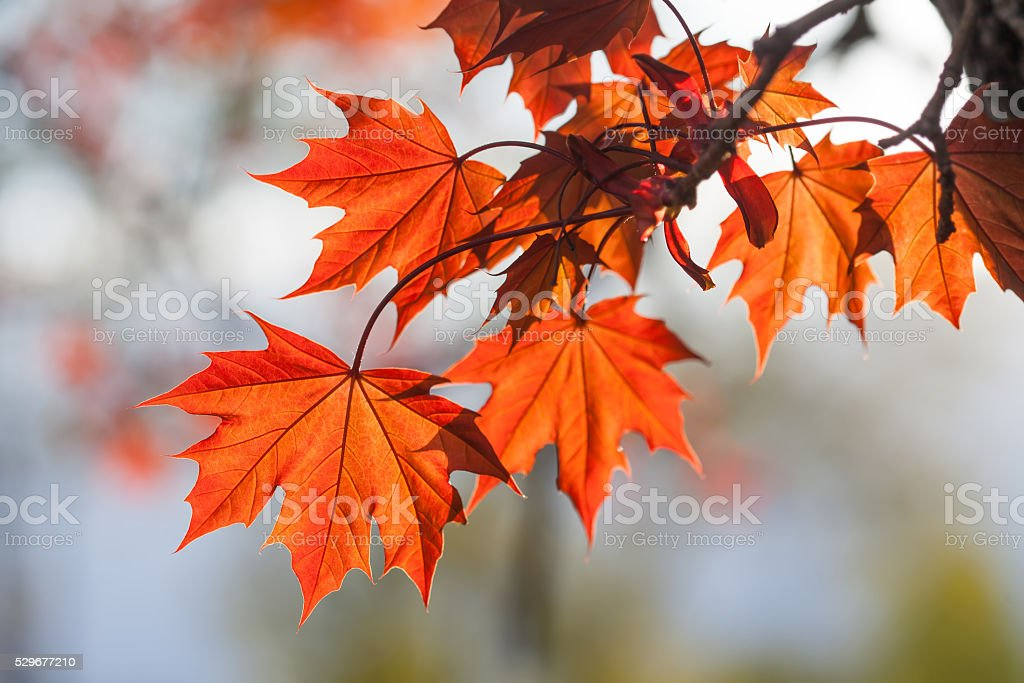 Spring time colorful scene. maple tree branch with red leaves stock photo