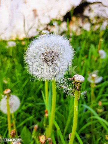 Spring time of the year.  Dandelion that can be blown away.  Fresh green grass.  Spring landscape.  Early summer.  Background for the screen.