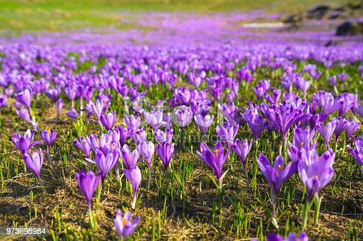 Purple Crocus, flowerbed with green grass as background on Big Pasture Plateau Velika Planina. It is springtime symbol as flowers are coming out with melting of snow. It is in the Kamnik–Savinja Alps northeast of Kamnik, at about 1500 meters above sea level. Slovenia. A lot of copy space on blurred background.