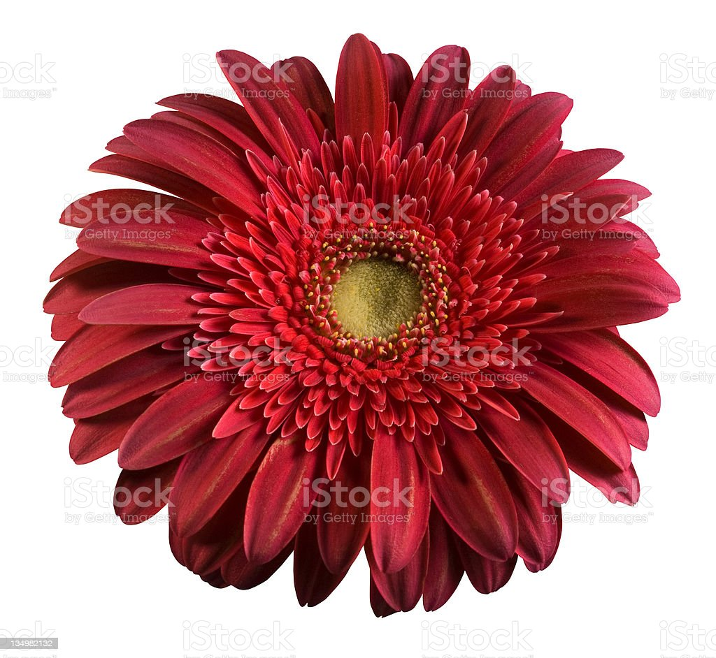 Spring time red flower with water drops background royalty-free stock photo