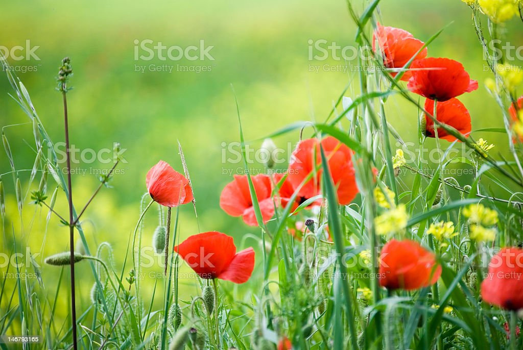 spring time red poppies royalty-free stock photo
