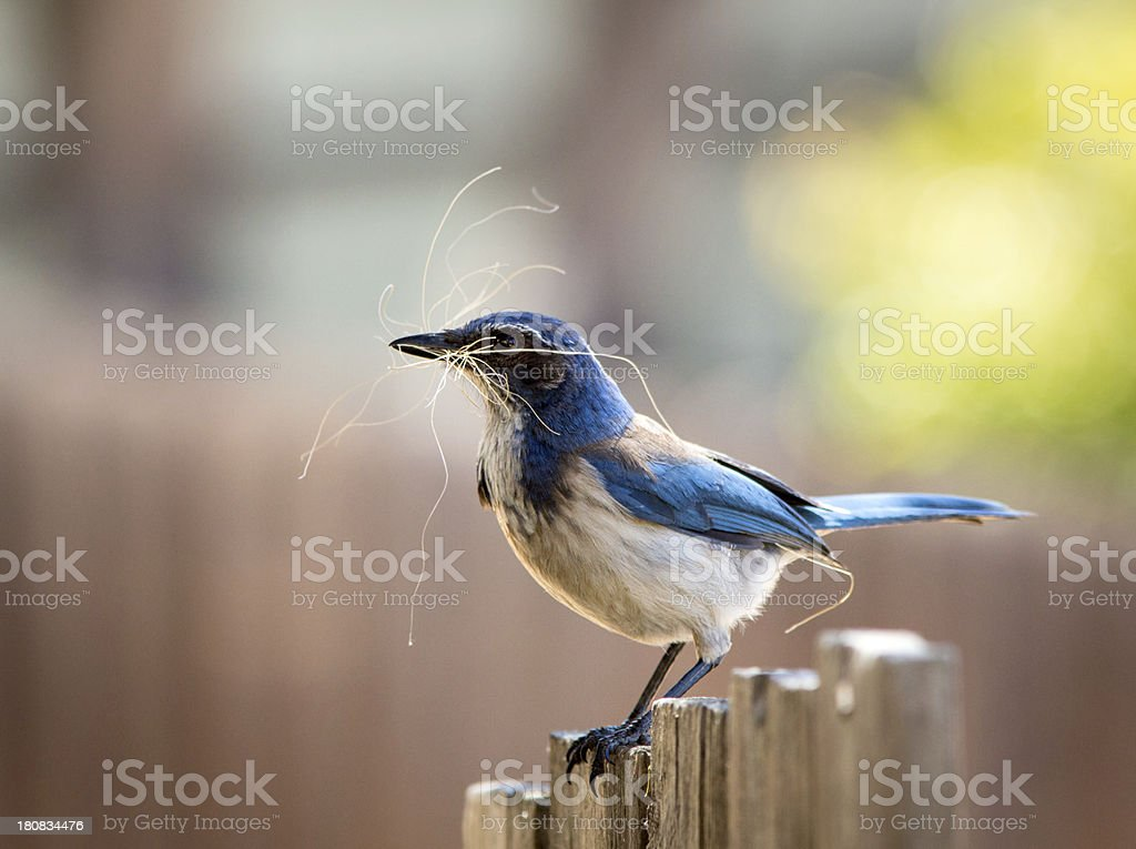 Spring time ritual Scrub Jay gathers nesting material royalty-free stock photo