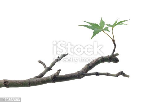 New leaves on a Japanese maple tree branch. Clipping path included.