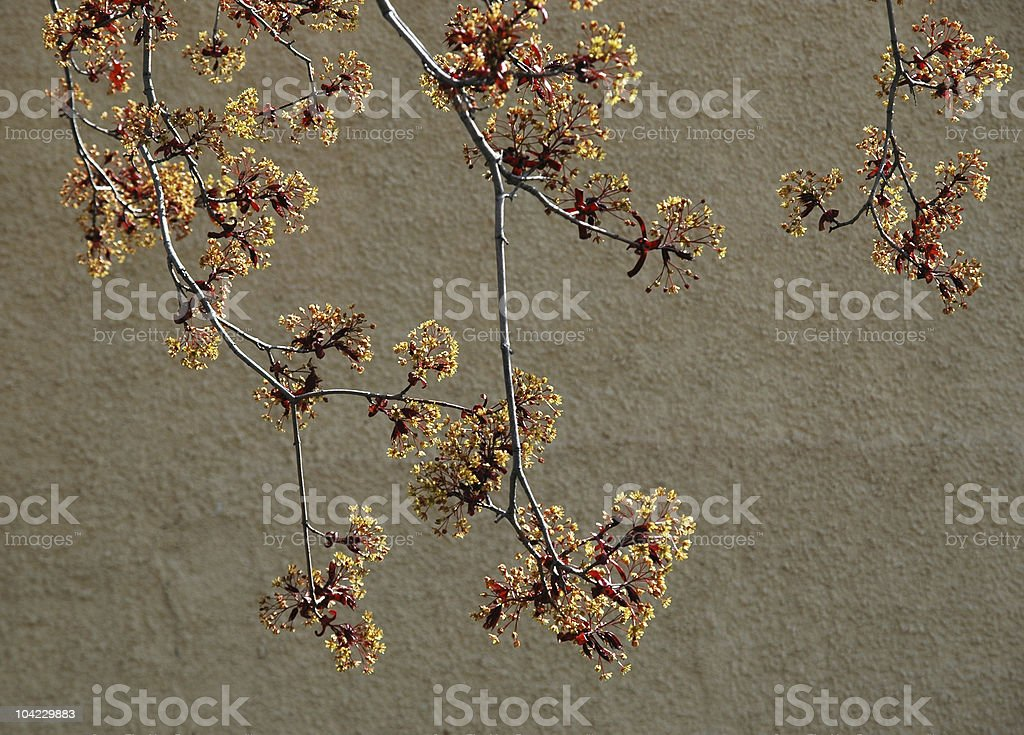Spring tree blooms royalty-free stock photo