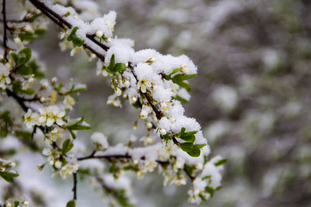 Spring tree blossom covered with sudden April snow cyclone in Ukraine stock photo
