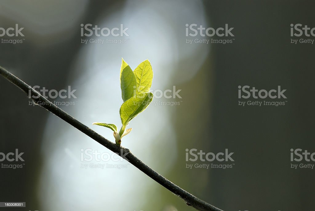 Spring tree blossom royalty-free stock photo