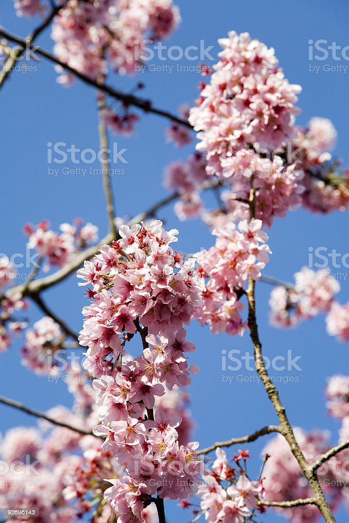 Spring tree blossoms royalty-free stock photo