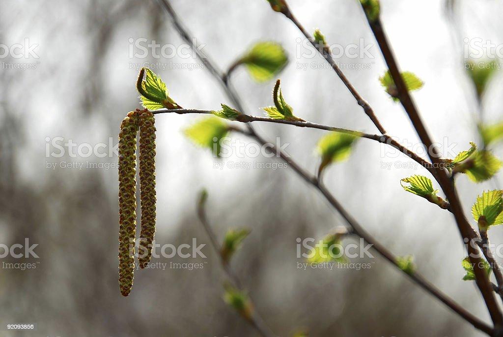Spring tree branch royalty-free stock photo