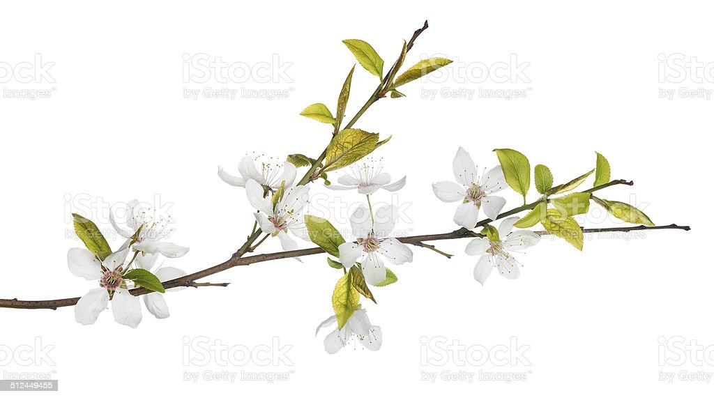 spring tree branch with light flowers stock photo