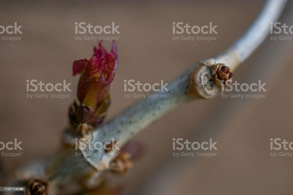 spring tree bud with branch macro stock photo