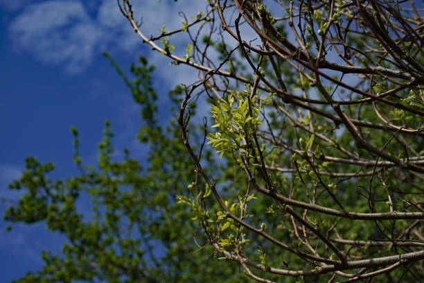 Spring Tree Buds stock photo