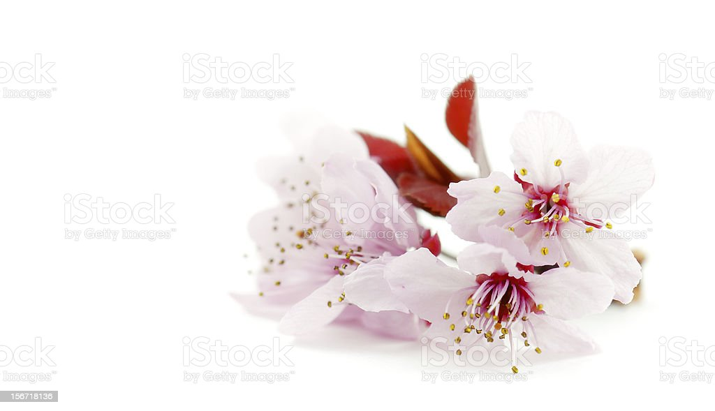 spring tree flowers royalty-free stock photo