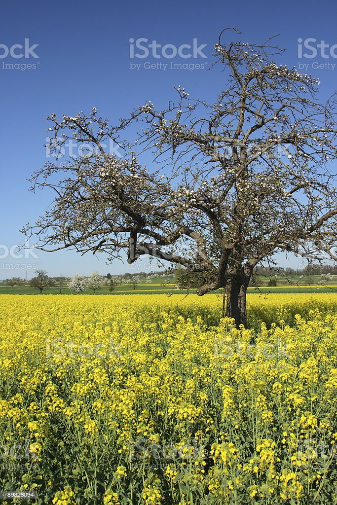 Spring Tree in Yellow Field High stock photo