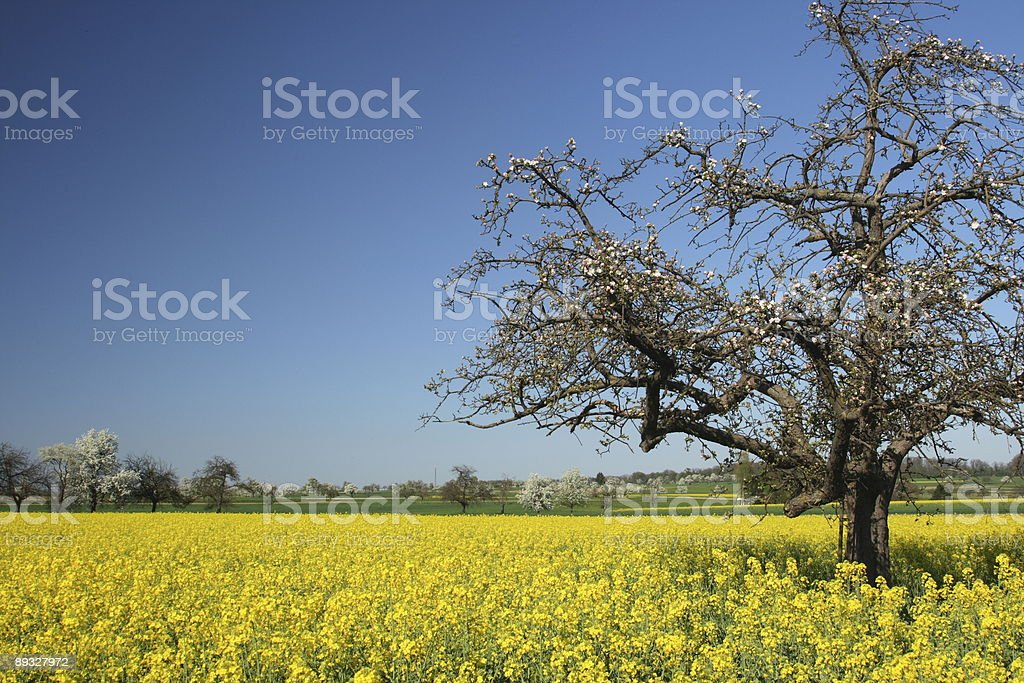 Spring Tree in Yellow Field stock photo