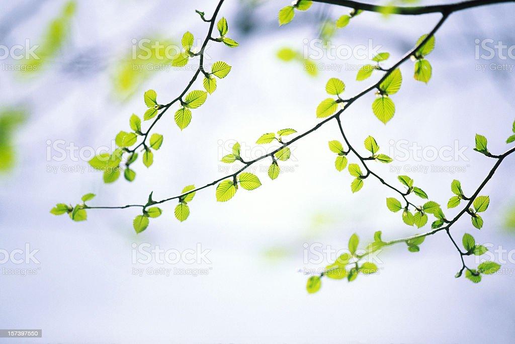 Spring Tree royalty-free stock photo