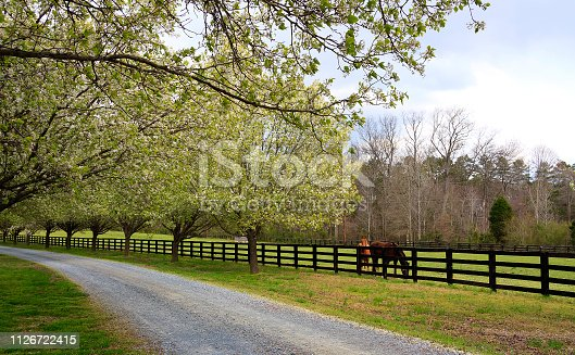 Bradford Pear Trees in full spring bloom beside a driveway in the country and horses in the pasture