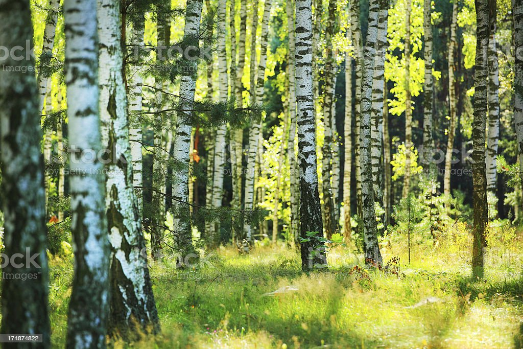 Spring Trees - Fresh Green Birch Forest stock photo