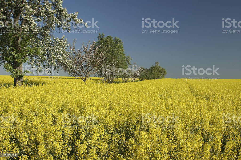 Spring Trees in Canola Field stock photo