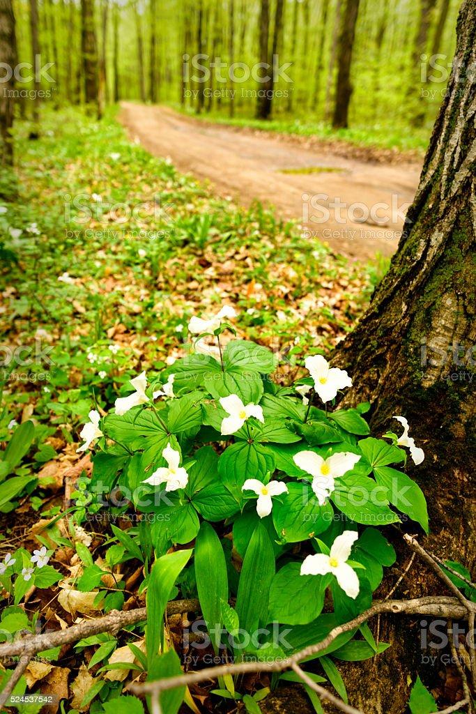 Spring Trillium Wild Flower stock photo