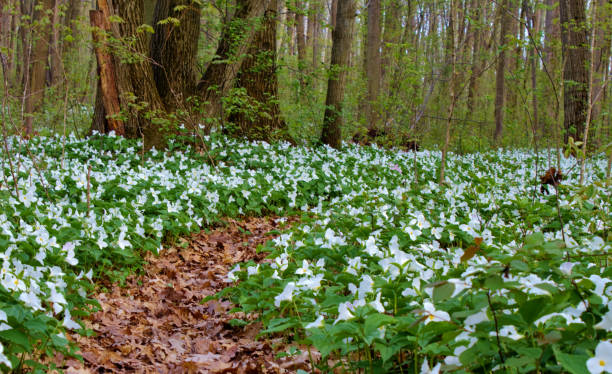 Spring Trillium Wildflowers Landscape In A Northern Boreal Forest stock photo