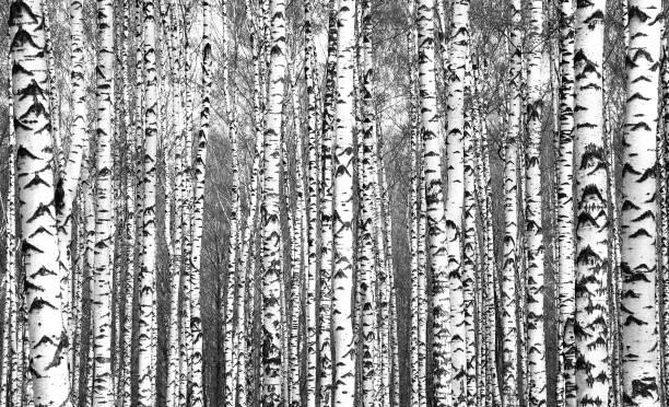 Frühling-Stämmen der Birke Bäume schwarz und weiß – Foto