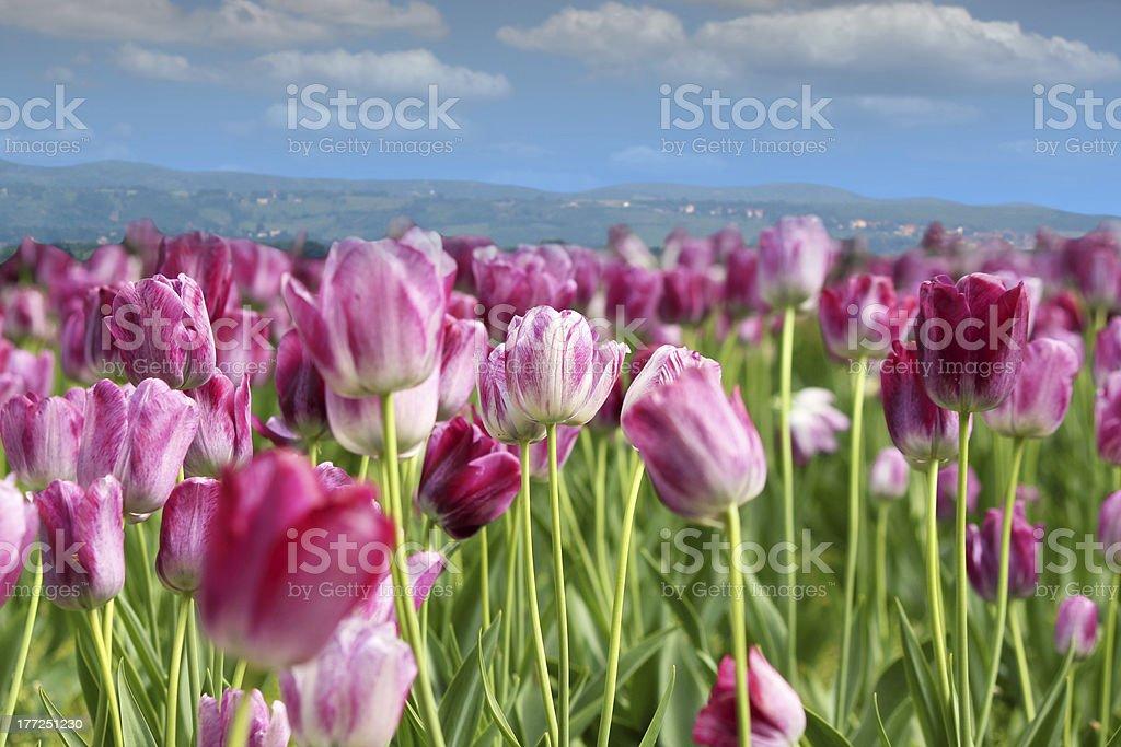 spring tulip flower royalty-free stock photo