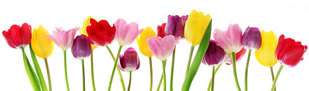 Spring tulip flowers in a row stock photo