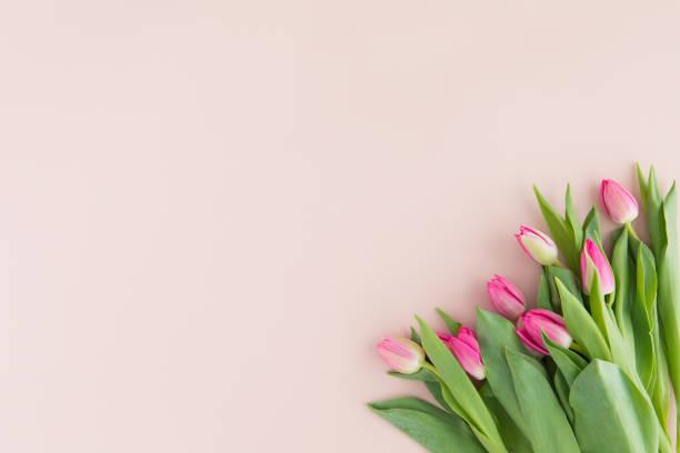 tulpe frühlingsblumen auf rosa hintergrund, draufsicht und flach legen stil. gruß für frauen- und muttertag. - tulpe stock-fotos und bilder