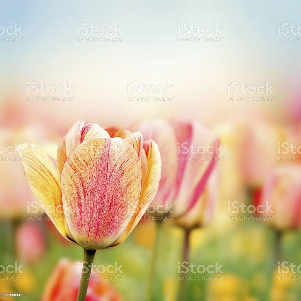 Spring tulip flowers royalty-free stock photo