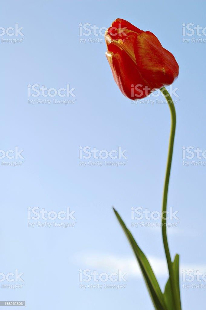spring tulip royalty-free stock photo