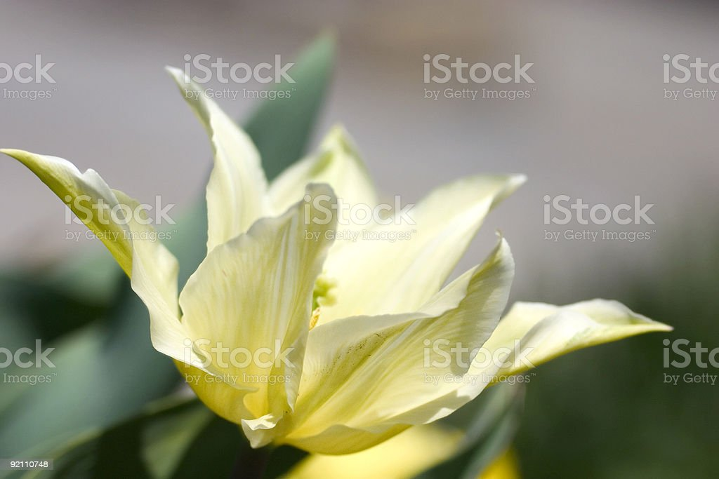 spring tulip royalty-free stock photo