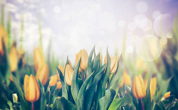 Spring tulips blooming plant, toned, banner stock photo