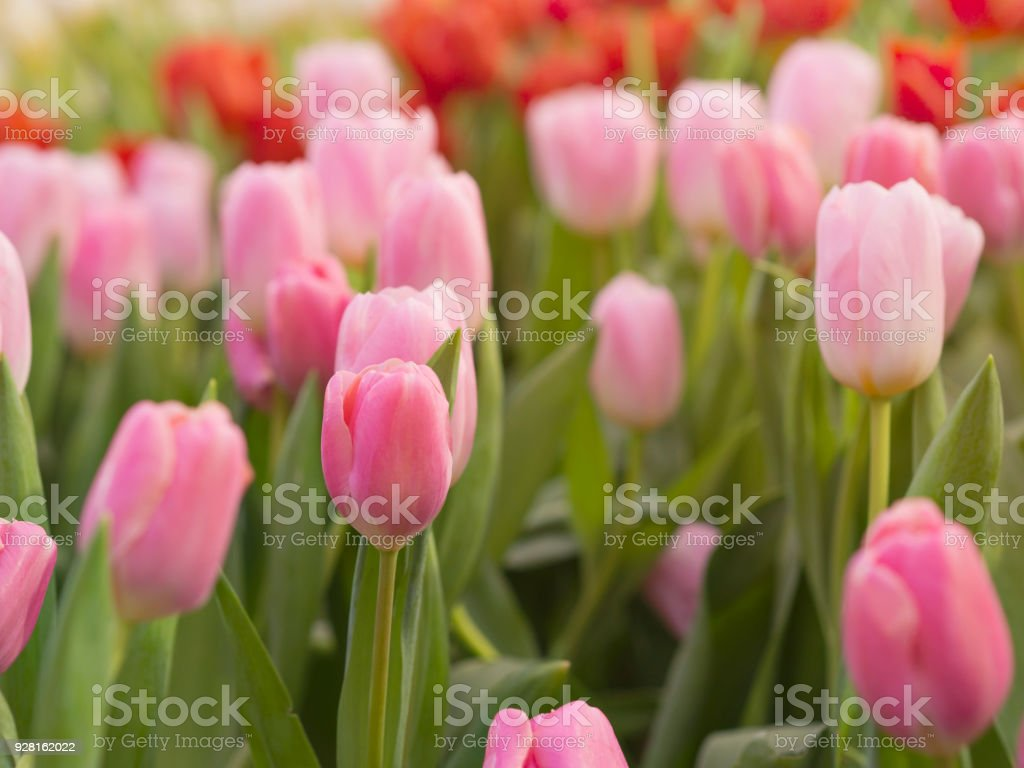 Spring Tulips fields with Pink, red and yellow color tulips at garden in Spring season, for background nature and Spring season stock photo