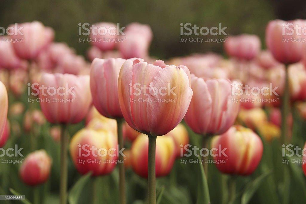Spring tulips in full bloom stock photo